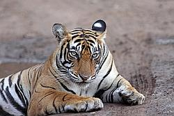 List of Tiger Reserves in India, Indian Tiger Sanctuaries