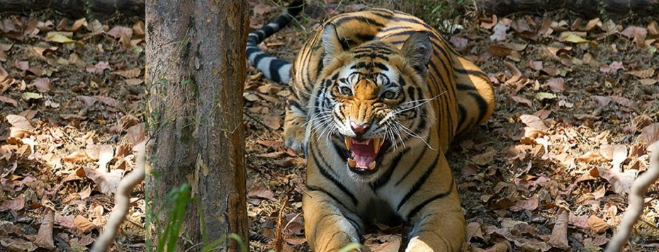best tiger in india